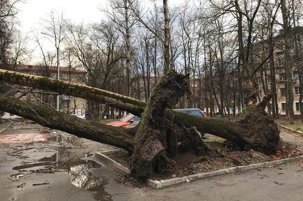 Дерево в Москве придавило беглого преступника с Украины