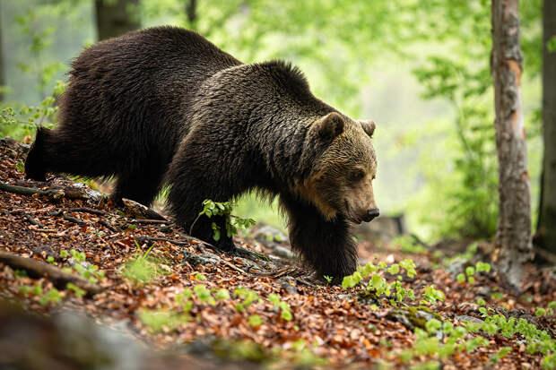 В Якутии 84-летняя бабушка перерычала напавшего на неё медведя