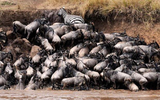 Почему африканская река Мара ежегодно убивает тысячи животных