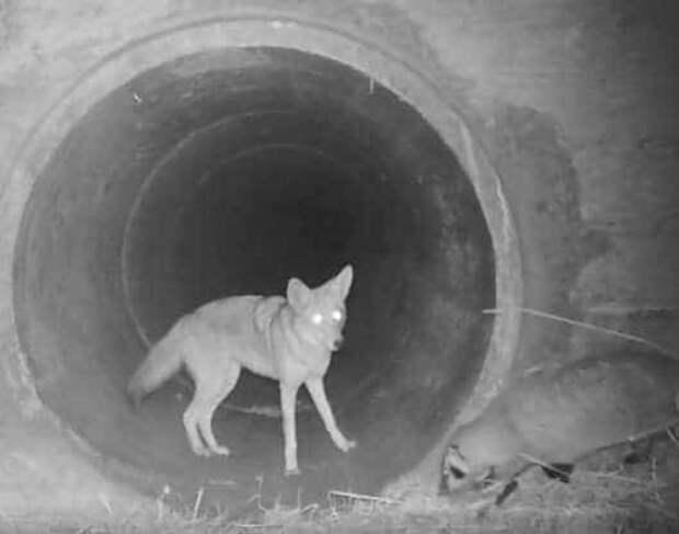 На камеру случайно попали дикие звери. Ими оказались койот и барсук, чья дружба восхищает