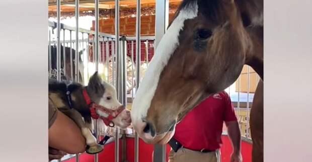 Самая крошечная лошадка в мире считает себя бульдожкой