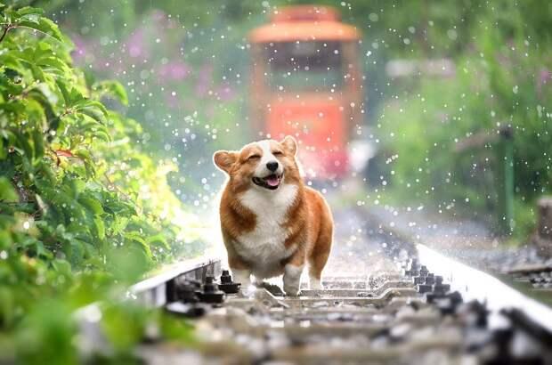Собака, Корги, Домашние Животные, Милый, Дождь