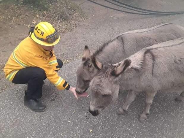 пожарный и два осла