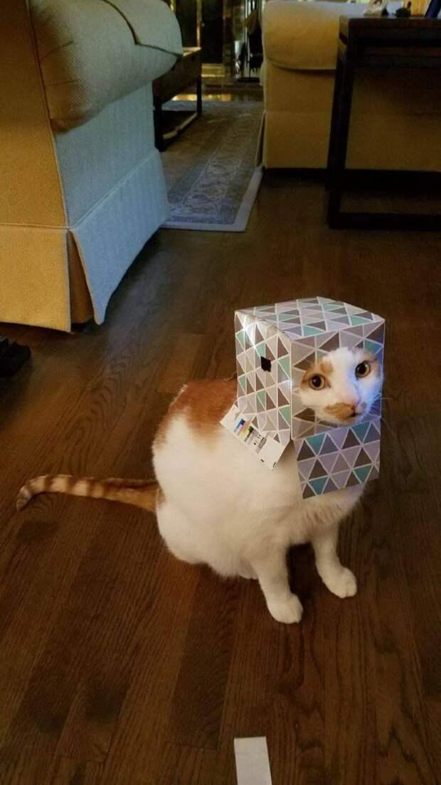 Кот с коробкой на голове