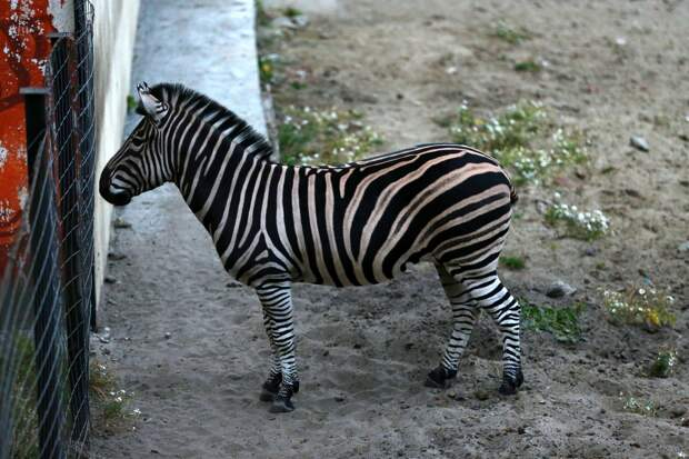 Пензенский зебра Мартин собирает деньги на невесту