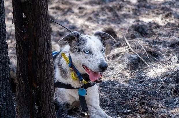 История бездомного пса, который научился спасать коал из пожаров