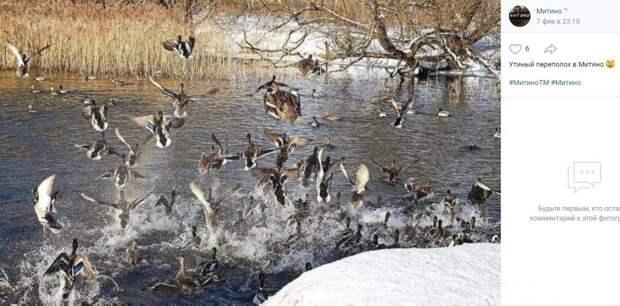 На реке Сходне начались брачные танцы зимующих крякв