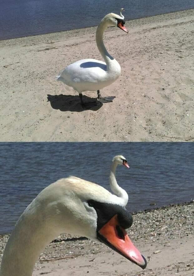 Выглядит так, будто перед нами лебедь-мутант друзья, прикол, случайность, смех да и только, фото, фотобомба, юмор