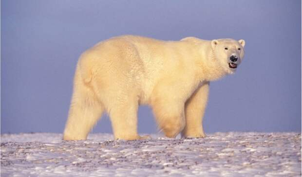 Российские ученые посчитают белых медведей