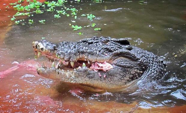 Крокодил-монстр напал на охотников и был застрелен. Но главная опасность поджидала людей в брюхе рептилии
