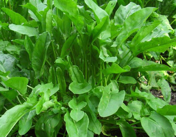 Полезные свойства растения щавель