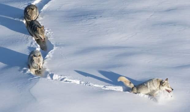 Знаменитый мем про шерстяного волчару «сломался» — вожак стаи оказался… девочкой