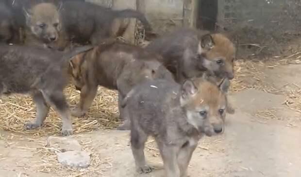 Счастливое событие. ВБольшереченском зоопарке резко увеличилось количество волков