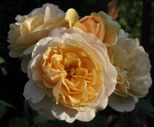 флорибунда Роза Sweet Honey