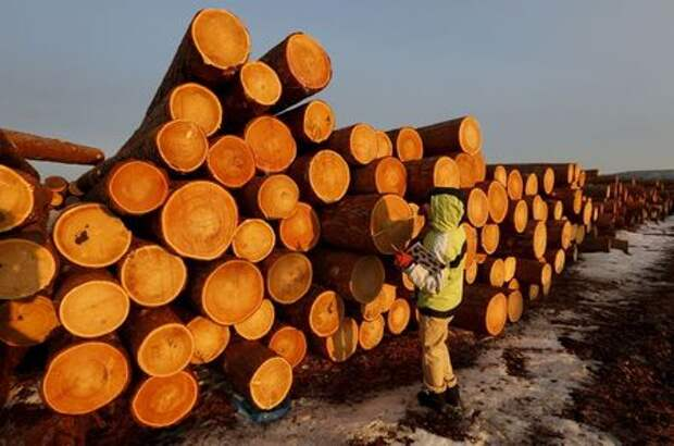 An employee measures the trunk of logs at the Boguchansky wood processing plant in the Taiga forest north of the village of Boguchany in Krasnoyarsk region, Siberia, Russia, March 22, 2016. The plant, which was founded in 2008, exports timber to Europe, Japan and China. The Taiga, also known as the boreal forest, on the coast of the Angara and Yenisei rivers is one of the main areas for the industrial cutting of wood thanks to the high quality of the Angara pine and larch. REUTERS/Ilya Naymushin TPX IMAGES OF THE DAY