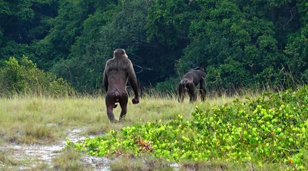 Впервые отмечены случаи смертельных нападений шимпанзе на горилл