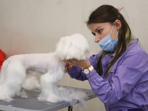 Кинолог предупредил об опасности стрижки собак в жару