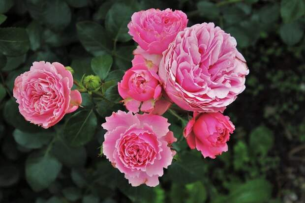 Чем полезна сода для роз