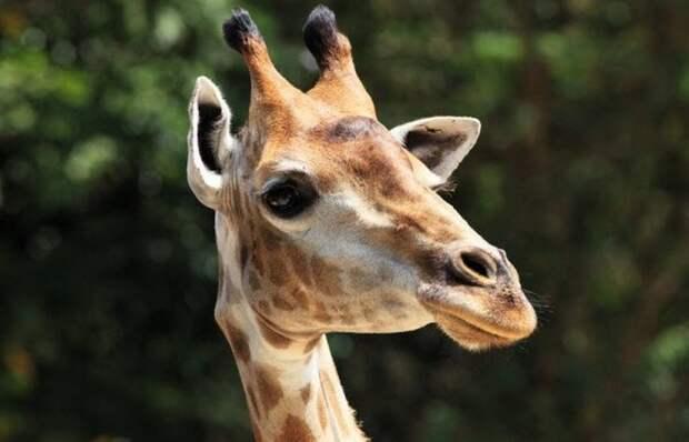 Смерть от соития с жирафом.