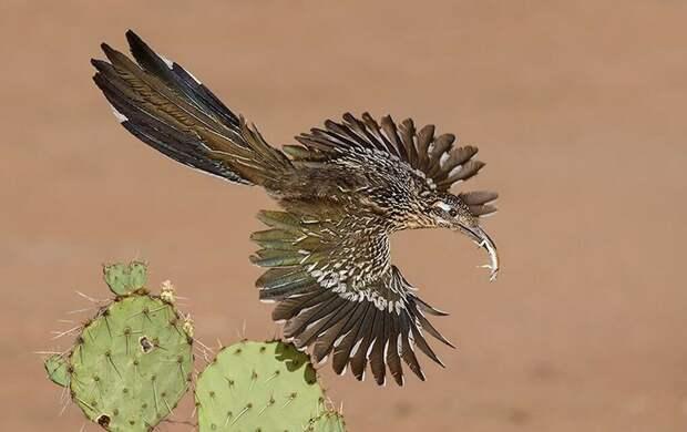 Кукушка достигла высоты в беге, отказавшись от высоты в принципе. Да, крылья у птахи остались и ими даже можно летать, но недолго и невысоко.