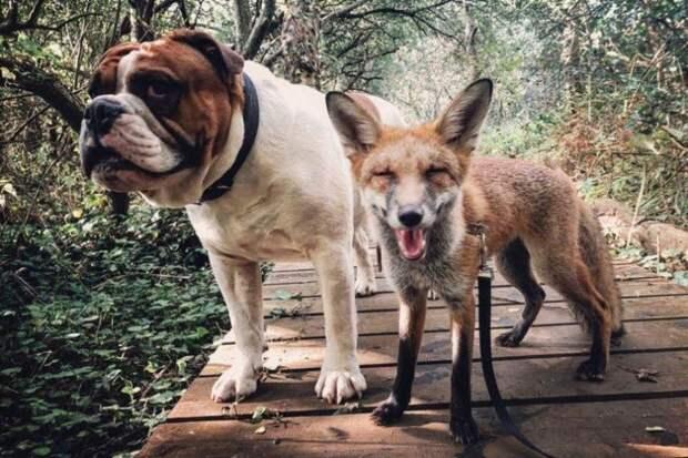 «Лисенок и бульдог»: девушка спасла лису и он стал лучшим другом её собаки