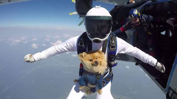 Солдат Смоки — как собачка помогла построить военный аэродром, прыгала с парашютом и была награждена