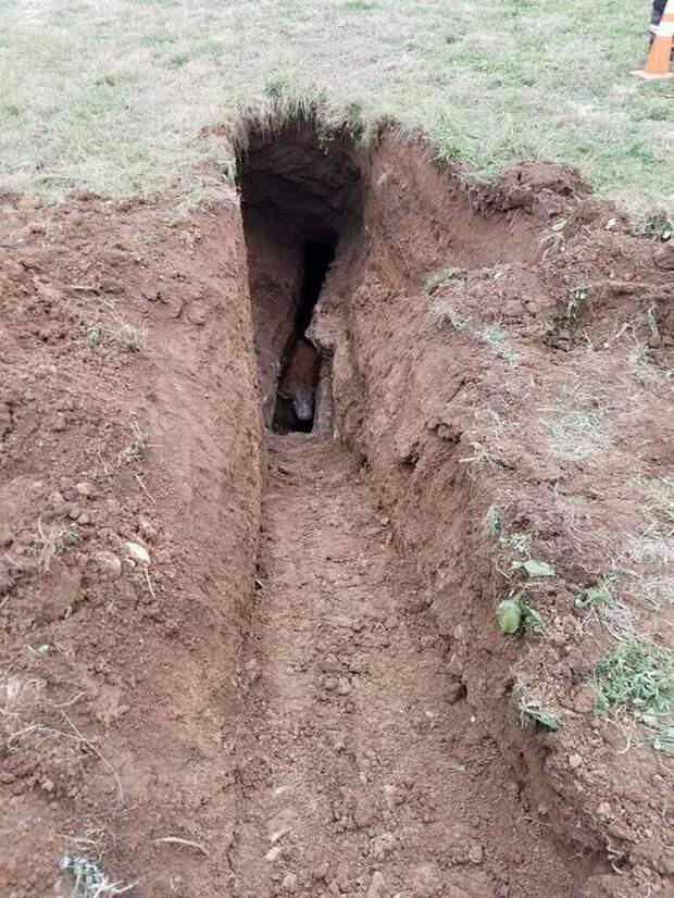 корова упала в яму