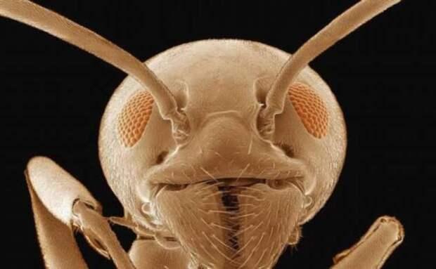 Кто такие «адские муравьи» и почему они так странно выглядят? (4 фото)