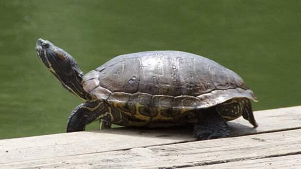 Власти Воронежа устанавливают причину массовой гибели черепах