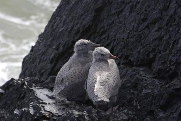 Птенцы бургомистров. Эти чайки чувствуют себя на острове прекрасно. Фото Ивана Мизина.