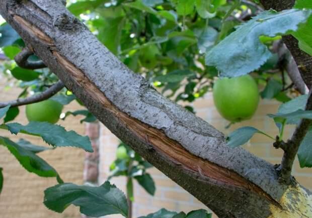 морозобоина на яблоне