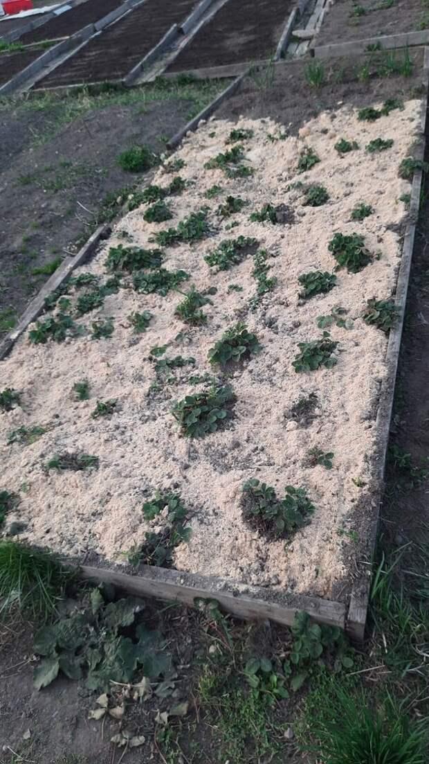 Получаем богатый и сочный урожай клубники! Полезные советы