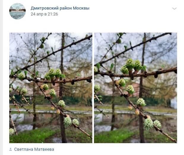 Фото дня: на Ангарских прудах зацвела лиственница