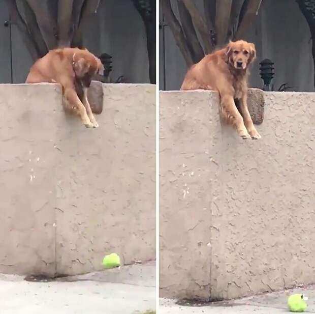3. Это Райли. Каждое утро он свешивается через забор и кидает вниз свою игрушку, чтобы какой-нибудь прохожий ее подобрал и поиграл с ним. Уловка срабатывает в 100 случаях из ста. Наша оценка - 14/10 животные, оценка, популярный, собака, собаки, соцсети, твиттер, юмор