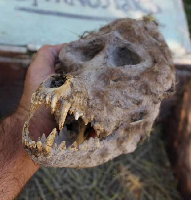 """Болгарский фермер нашел """"череп оборотня"""""""