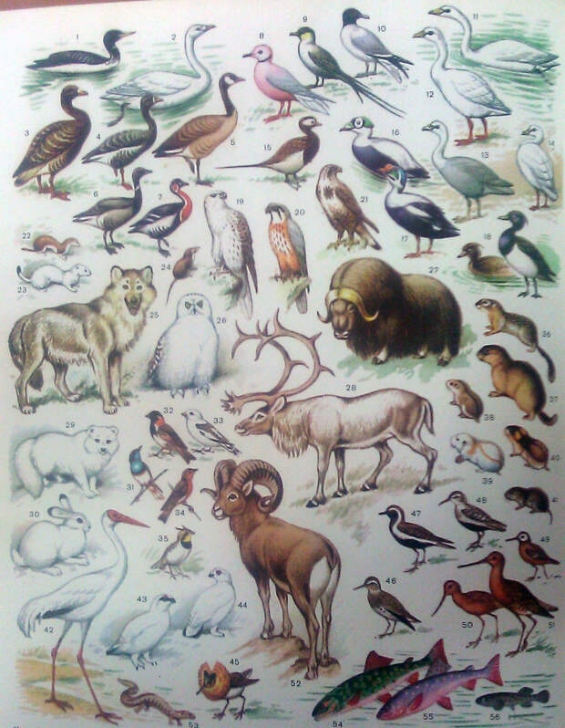 Природная зона тундра - характеристика, птицы, животные, растительность,  типы - Paikea.Ru