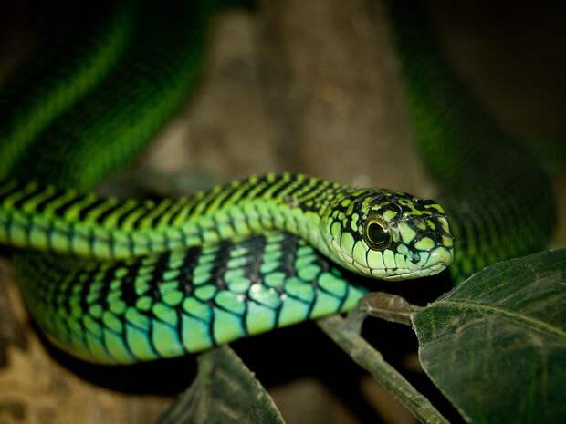Ученый, который пожертвовал жизнью, чтобы описать симптомы укуса ядовитой змеи