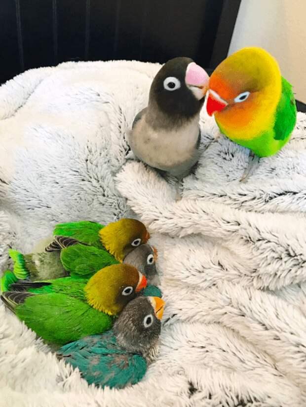 Попугай неразлучник и его яркая и необычная подружка стали родителями. Птенцы оказались прелестней родителей