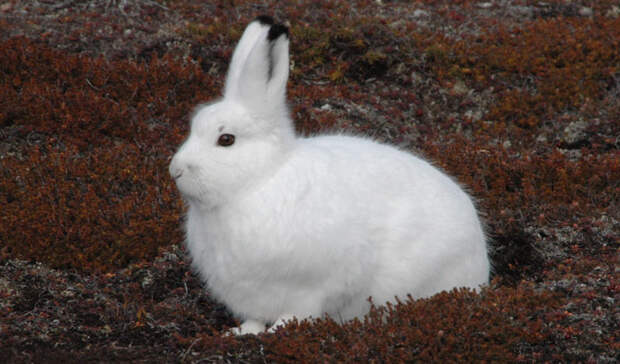 Животные тундры: Арктический заяц-беляк
