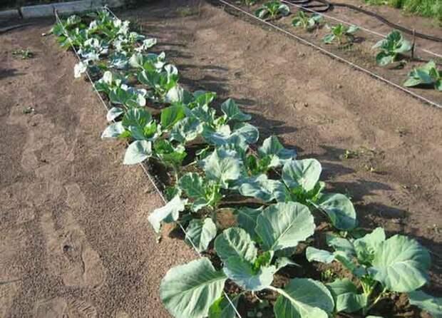 Основные правила выращивания капусты брокколи