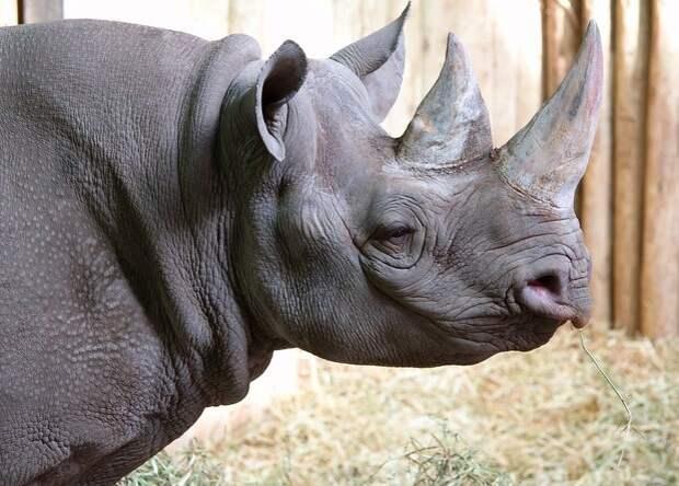 Черных носорогов в зоопарках предложили оздоровить диетой и кровопусканием