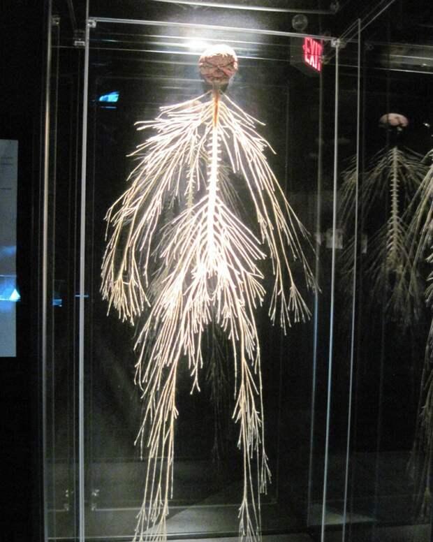 6. А так выглядит нервная система человека
