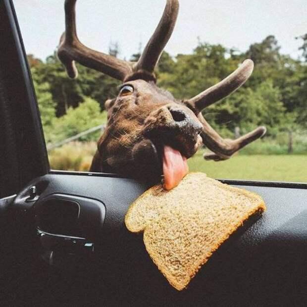 Олень и кусочек хлеба