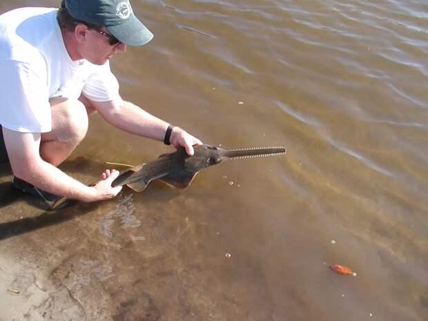 Рыба-пила: Шинкует морских обитателей в лучших традициях кровавых слэшеров