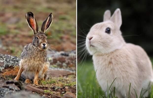 В чем отличие зайца и кролика, если выглядят они одинаково