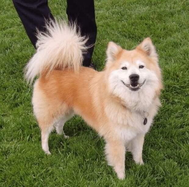 4. Чау-чау и сиба-ину явно свела вместе любовь к дефисам в названии домашние животные, животные, красота, метис, милота, порода собак, собака