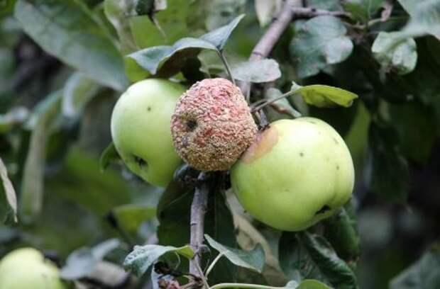 Расслоилась кора на яблонях: что делать?
