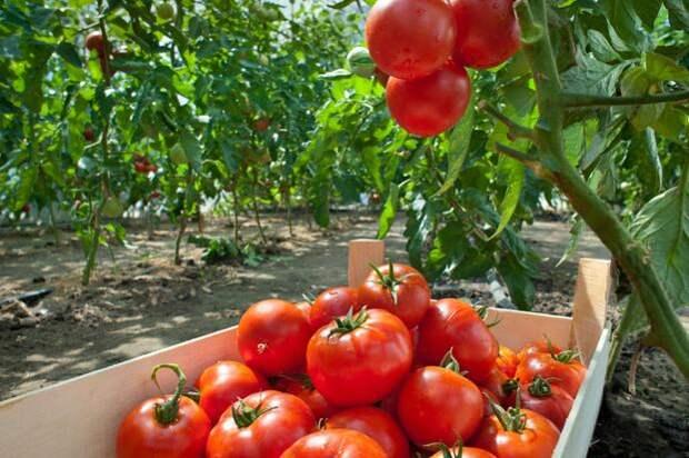 Попшикайте этим средством на огурцы и помидоры - и они никогда не будут «болеть»!