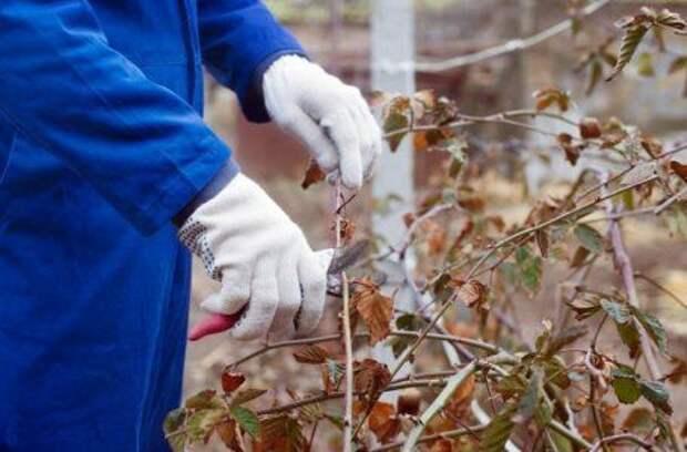 Обрезка ягодных кустарников: сроки и особенности