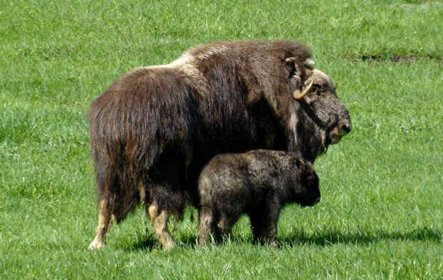 Животные тундры: Овцебык